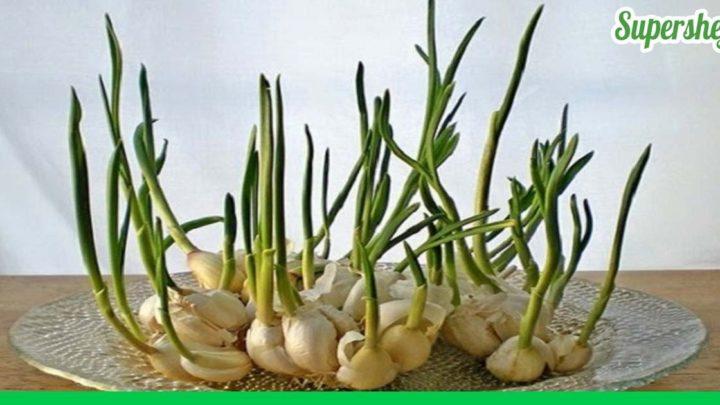 Какие овощи можно легко вырастить у себя дома на подоконнике