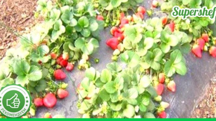 Что нужно сделать, чтобы после сбора урожая клубники через год вновь было много ягод.