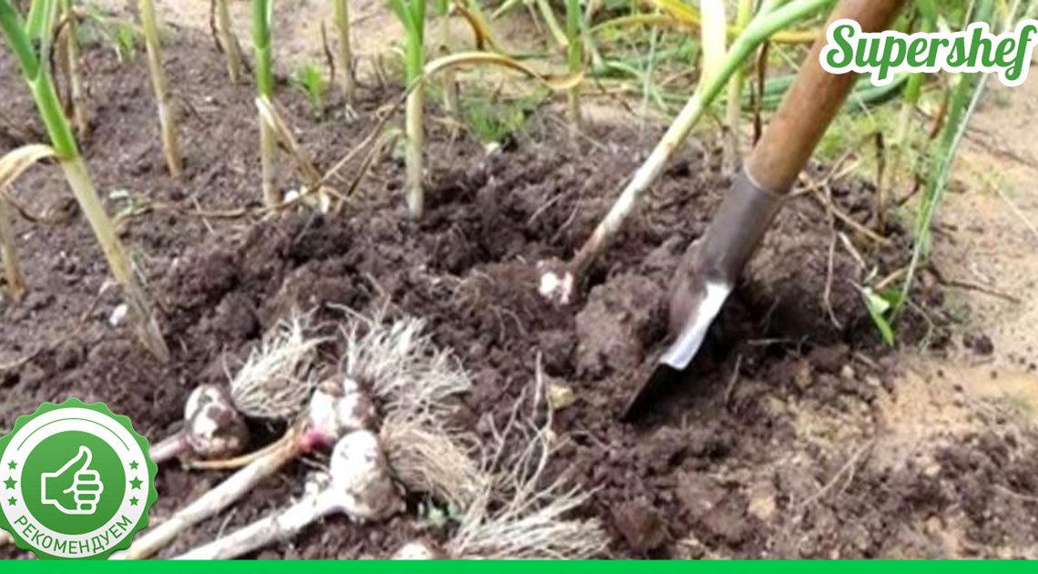 Что посадить вместе с чесноком и после сбора его урожая
