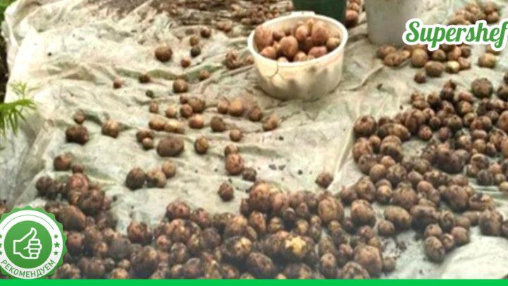 А вы знали, что картошку лучше сажать в июне? Урожай будет неимоверный!