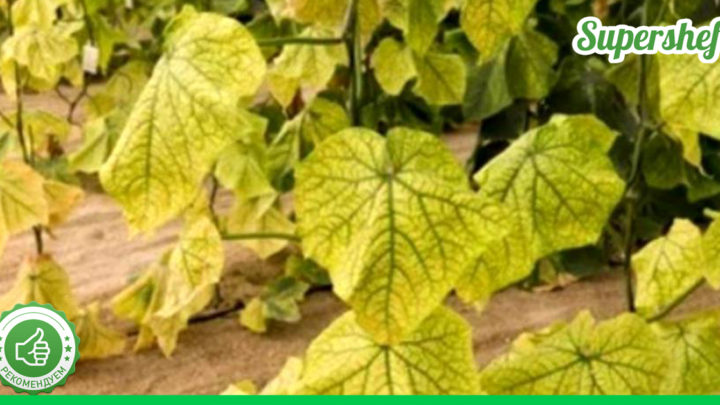 Какая подкормка поможет любому желтеющему растению