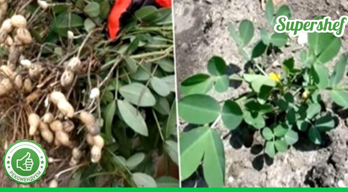 Выращиваем арахис на своем участке