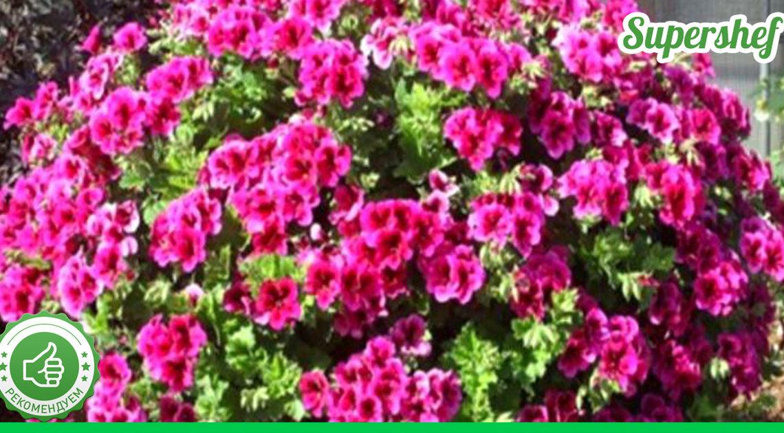 Три вида цветов, которые по своей красоте не уступают петунии. Но зато менее прихотливы в уходе.
