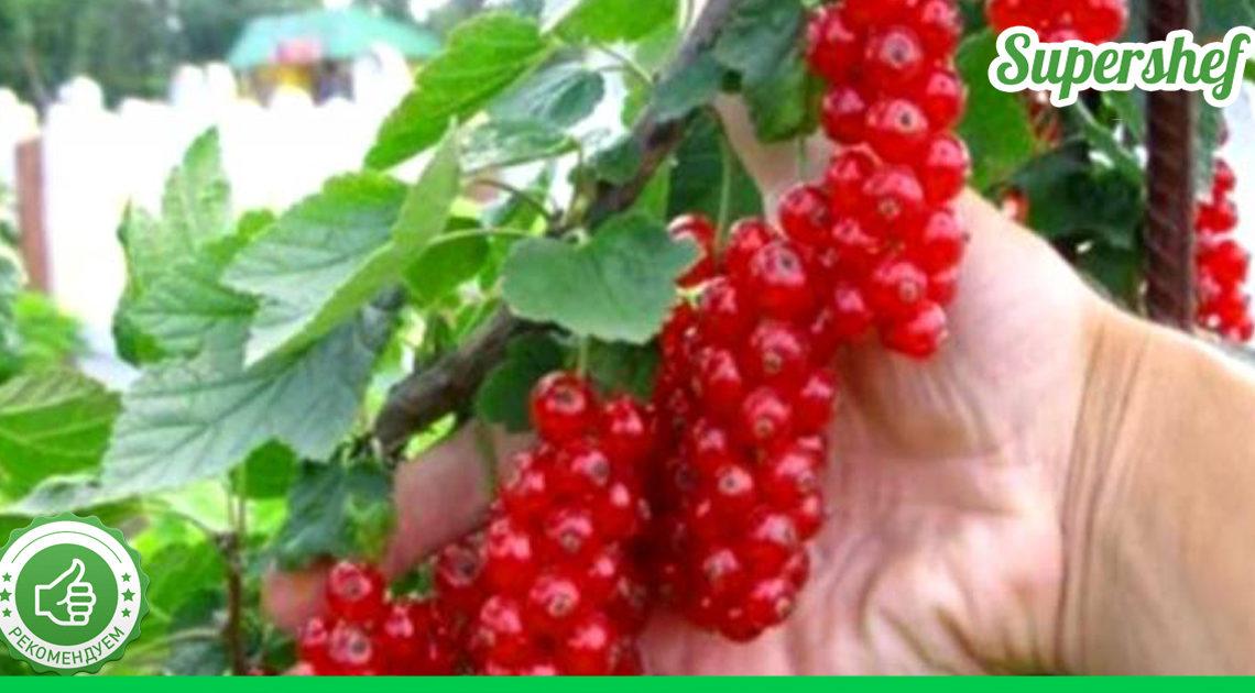 Как увеличить урожай смородины — советы бывалых огородников