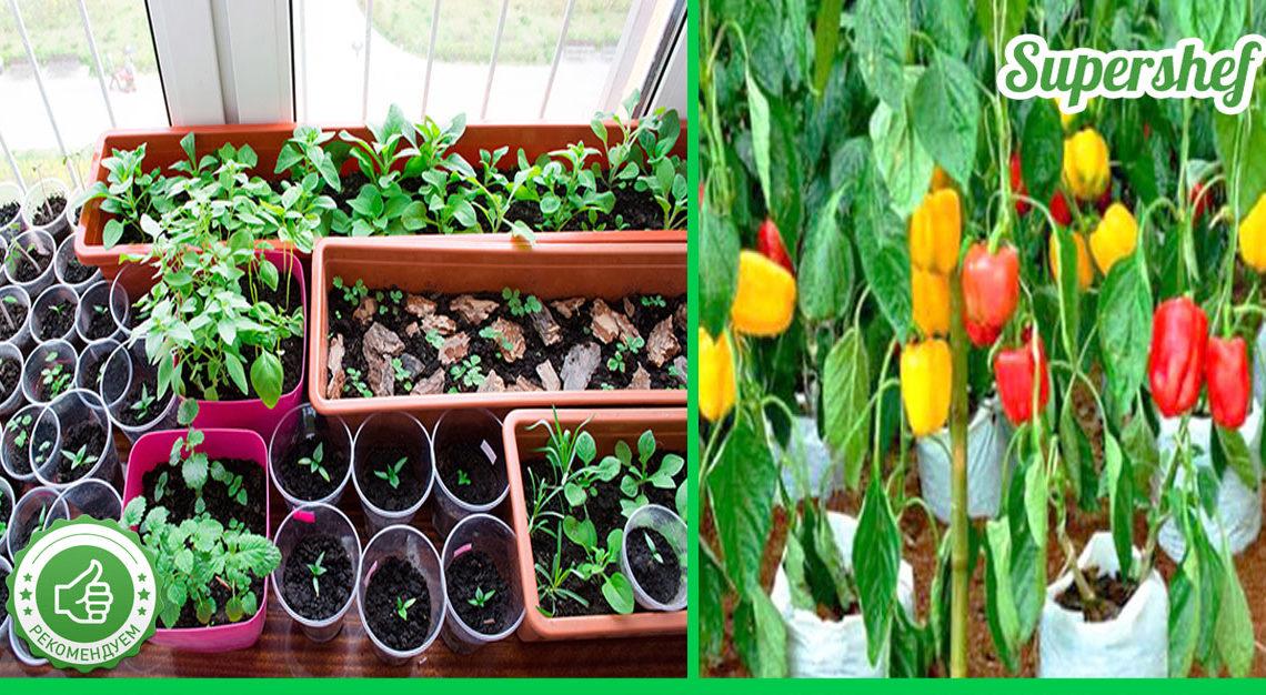 «Горячая посадка»: Секреты выращивание сладкого перца