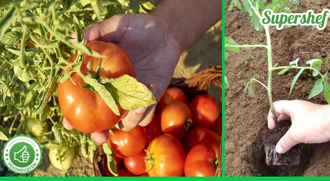 Что я добавляю в лунку при посадке помидоров? Раскрываю свой секрет хорошего урожая
