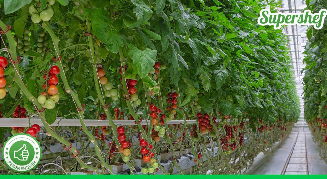 В течение лета подкармливаю помидоры три раза таким раствором. Итог – отменный урожай!