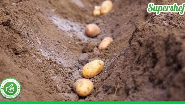 В какие дни сажать картофель в 2021 году по лунному календарю