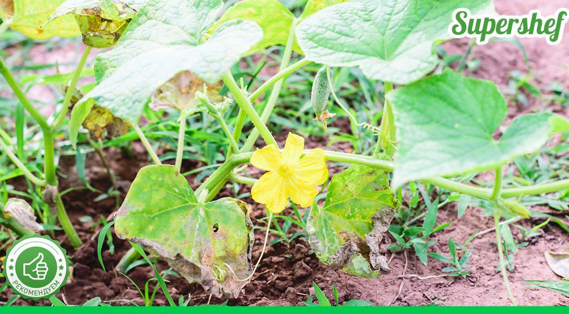 Что делать, чтоб листья огурцов не становились желтыми