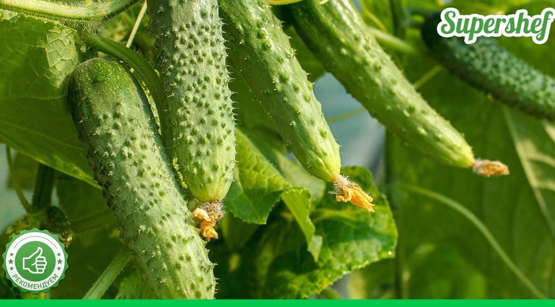 Холодное лето — не проблема для урожая огурцов! Сорта огурцов, которые не боятся холода
