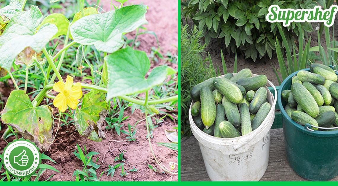 Эффективные способы выращивания вкусных и здоровых огурцов. Делаю каждый год!