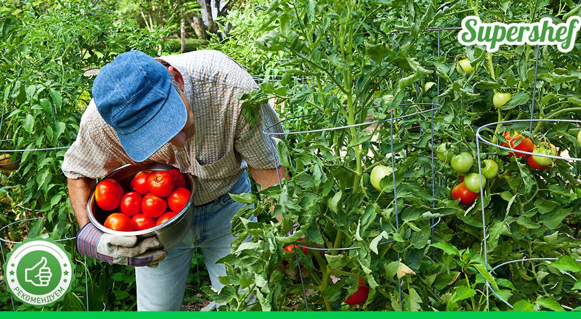 Как правильно выращивать помидоры? Метод Казарина